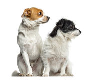 Mixed-breed dogs sitting and looking away, isolated stock photography