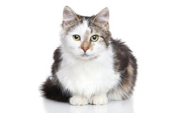 Mixed breed Domestic cat Royalty Free Stock Images