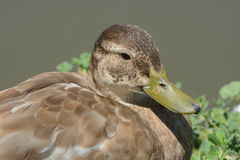 Mixed breed duck. Portrait of wild mixed breed mallard duck drake by side of lake Royalty Free Stock Photography