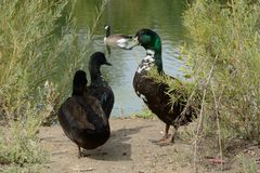 Mixed breed ducks. With traces of mallard,cayuga and Swedish black heritage living in the wild Royalty Free Stock Photo