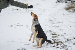 Mixed-breed female dog standing on hind leg. For to get some food from master`s hand while playing outdoor at winter season Stock Image