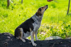 Female dog waiting for food from master while sitting on a burnt log. Mixed-breed female dog waiting for food from master while sitting on a burnt log royalty free stock images