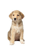 Mixed Breed Ginger Puppy Sits Isolated on White Stock Images