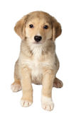 Mixed Breed Ginger Puppy Sits Isolated on White Royalty Free Stock Photography