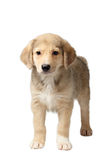 Mixed Breed Ginger Puppy Stands Isolated on White Royalty Free Stock Image