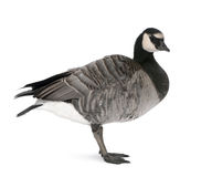 Mixed-Breed goose against white background Stock Photography