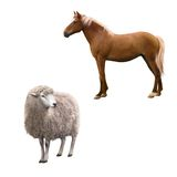 Mixed breed horse standing, Front view of a Sheep Stock Photos