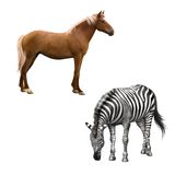 Mixed breed horse standing, zebra bent down eating Stock Photo