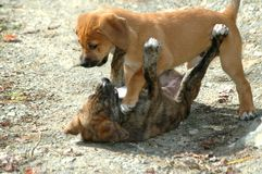 Hound Puppies Playing. Mixed Breed Hound retriever puppies royalty free stock image