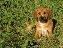 Hound Puppy in Grass. Mixed Breed Hound retriever puppy royalty free stock images