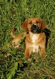 Hound Puppy in Grass. Mixed Breed Hound retriever puppy royalty free stock image