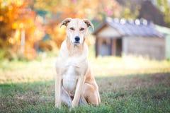 Free Mixed Breed Labrador Rescue Dog In Autumn Garden Stock Images - 131192164