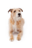 Mixed Breed Large Scruffy Dog Laying Down Stock Photo