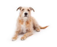 Mixed Breed Large Scruffy Dog Laying Down Stock Image