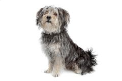 Mixed breed maltese dog/yorkshire terrier. Isolated on white Royalty Free Stock Photo