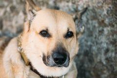 Mixed Breed Medium Size Brown Dog Close Up Stock Image