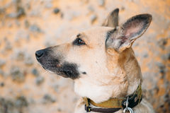 Mixed Breed Medium Size Brown Dog Close Up Stock Photo