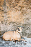Mixed Breed Medium Size Brown Dog Close Up Stock Photography