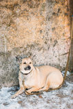 Mixed Breed Medium Size Brown Dog Close Up Royalty Free Stock Photos