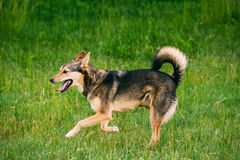 Mixed Breed Medium Size Three Legged Dog Play Outdoor In Summer Stock Image