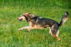 Mixed Breed Medium Size Three Legged Dog Play Outdoor In Summer Royalty Free Stock Photography