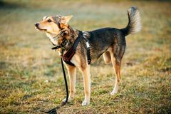 Mixed Breed Medium Size Three Legged Dog Standing. At An Angle Looking Off To Side Of Camera. Autumn Time Outdoor Dog Portrait With Only Three Legs Stock Photos