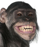 Mixed-Breed monkey between Chimpanzee and Bonobo. Close-up of Mixed-Breed monkey between Chimpanzee and Bonobo smiling, 8 years old Stock Photography
