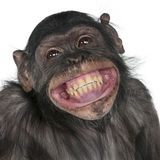 Mixed-Breed monkey between Chimpanzee and Bonobo. Close-up of Mixed-Breed monkey between Chimpanzee and Bonobo smiling, 8 years old Stock Images