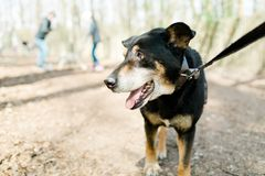 Mixed breed old dog from dog shelter on walk in forrest royalty free stock photo