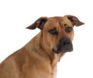 Mixed breed Pit Bull Royalty Free Stock Photo