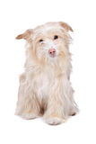 Mixed breed podengo dog Royalty Free Stock Image