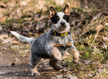 A mixed breed pup running in the direction of the camera. Against a blurred background of a stack of dried leaves Stock Photography