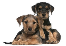 Mixed breed puppies, 8 weeks old. In front of white background Royalty Free Stock Photo
