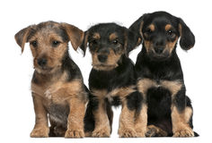 Mixed breed puppies, 8 weeks old Royalty Free Stock Photography