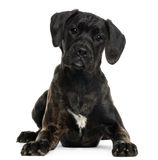 Mixed-breed puppy, 4 months old, lying Stock Photography