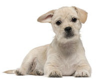 Mixed-breed puppy, 4 months old, lying Stock Photos