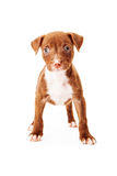 Mixed Breed Puppy Stock Image