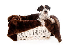Mixed Breed Puppy in a Basket Stock Photo