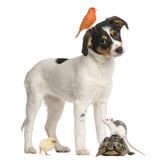 Mixed breed puppy, canary, chick, turtle and rat Stock Image