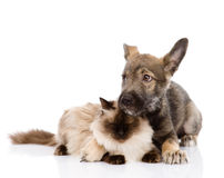 Mixed breed puppy and cat together. isolated on wh Royalty Free Stock Image