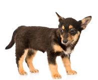 Mixed breed puppy dog in full height. isolated on white Royalty Free Stock Photo