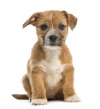 Mixed-breed puppy looking at the camera,  sitting Stock Photo