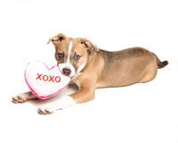 Puppy Love. Mixed breed puppy loves toys and you royalty free stock image