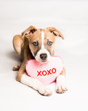 Will You Be Mine?. Mixed breed puppy loves toys and you royalty free stock photos