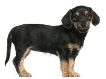 Mixed breed puppy standing Royalty Free Stock Image