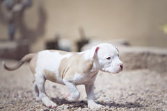 Mixed breed puppy walking away Stock Photos