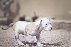 Mixed breed puppy walking away Stock Photos