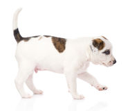 Mixed breed puppy walking. isolated on white background Stock Photo