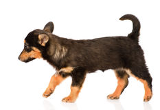Mixed breed puppy walking. isolated on white background Royalty Free Stock Photos