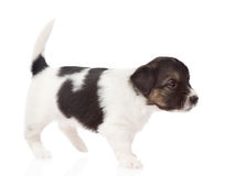Mixed breed puppy walking.  on white background Royalty Free Stock Photography